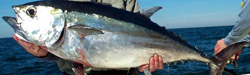 blackfin-tuna-fishing-charter