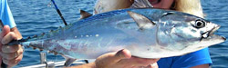 albacore-tuna-fishing-charters-florida