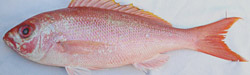 vermillion-snapper-florida-fishing