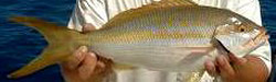 yellowtail-snapper-fishing-charters